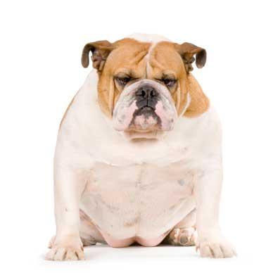 Dog Breeds With Short Lifespans Island Trees Veterinary Hospital Blog