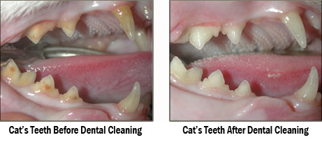 A Cat's Teeth Before and After a Dental Cleaning