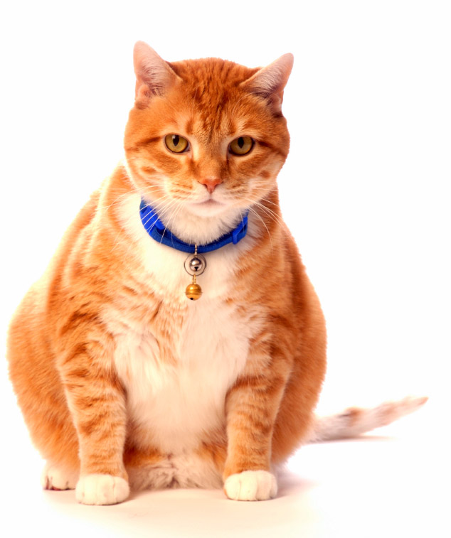 How to help your cat safely lose weight.