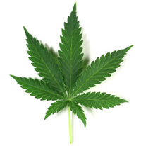 Medical Marijuana patch coming for Dogs