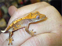 A rare crested gecko. Handle with care!