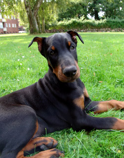 BSL targets Dobermans and other so-called 'dangerous dogs'
