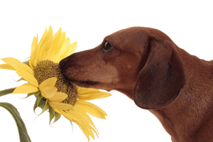 Dogs can sense the most subtle smells