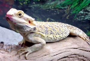 Talk to your vet before purchasing an exotic pet.