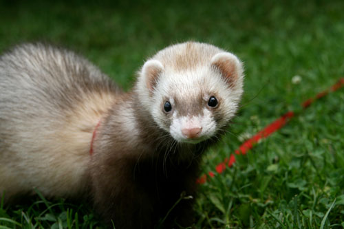 NYC's ban on ferrets may be lifted.
