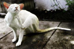 Fleas may cause flea allergy dermatitis or military dermatitis in cats.