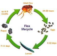 Average flea life cycle
