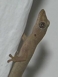 Four Clawed Gecko