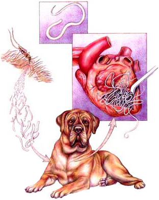 Cycle of heartworm transmission / reproduction