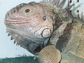 Iguanas require a different sort of care than other pets.