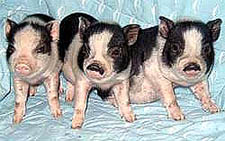 Litter of Potbellied Pigs