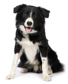 A 9-month old border collie.