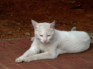 Cats with white coats are prone to sunburn and other summer health problems