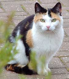 Ivyleaf: Medicine Cat