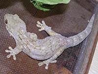 Walhberg Velvet Gecko