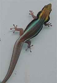 Yellow Headed Gecko